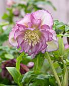 Helleborus orientalis Double Ellen® 'Pink'