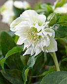 Helleborus orientalis Double Ellen® 'White'
