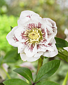 Helleborus orientalis Double Ellen® 'White Spotted'