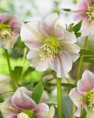 Helleborus orientalis Pretty Ellen 'Spotted'