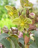 Helleborus x sternii