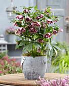 Helleborus orientalis Double Ellen® 'Spotted'