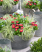 Carex oshimensis EverColor® 'Everlite', Bellis, Myosotis
