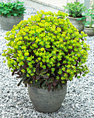 Euphorbia amygdaloides 'Craigieburn'