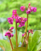 Bergenia cordifolia 'Eroica'