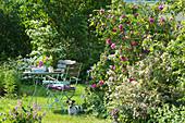 Gedeckter Tisch am Beet mit englischer Rose 'Gertrude Jekyll' und Weigelie, Hund Zula liegt im Gras