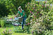 Frau deckt Tisch am Beet mit englischer Rose 'Gertrude Jekyll' und Weigelie