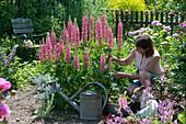 Lupine 'Gallery Rose Shades' im Beet, Frau schneidet Blüten