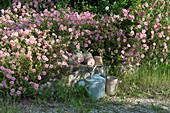 Sonnenröschen 'Lawrensons Pink' als Bodendecker auf Steinmauer
