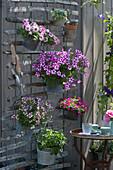 Platzsparende Sommerbepflanzung mit Petunie 'Raspberry Star', Verbene Vepita 'Pink Kiss', Elfenspiegel 'Vanilla Berry', Zauberglöckchen 'Dark Pink' und Steinquendel