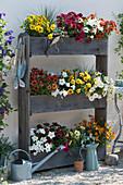 Platzsparende Sommerbepflanzung mit Petunien Beautical 'Caramel' 'Bordeaux' 'Cinnamon' 'French Vanilla', Dipladenie, Margerite, Zweizahn Painted Red', Schneeflockenblume und Zauberglöckchen