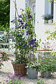 Clematis unterpflanzt mit Schneeflockenblume auf Kiesterrasse