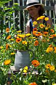 Strauß aus Ringelblumen, Frau schneidet Blüten für Blumenstrauß