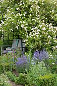 Schattiger Sitzplatz in Laube mit Ramblerrose 'Venusta Pendula', Beet mit Steppensalbei 'Blauhügel', Witwenblume und Buchs