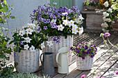 Violett und weißes Topf-Arrangement in Körben: Petunie 'Blueberry Star', Dipladenie 'Rio White' und Zauberglöckchen