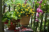 Erdbeeren und Ringelblume in Töpfen am Gartenzaun