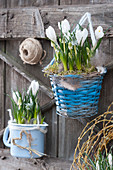 Ländliche Frühlingsdekoration mit Krokus und Traubenhyazinthen in Körbchen und Emailletopf
