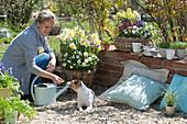 Korb mit Narzissen und Hornveilchen, Frau gibt Hund Zula Leckerchen