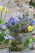 Vorfrühling in bepflanzten Backformen mit Narzissen, Krokus und Strahlenanemone