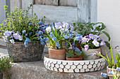 Frühlingsdeko mit Traubenhyazinthen, Hornveilchen 'Rocky Lavender Blush', Duftveilchen, Salbei und Oregano