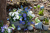 Kleine Osterdeko im Garten mit Strahlenanemone, Hornveilchen und Traubenhyazinthen in Töpfen