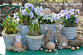 Oster-Arrangement mit Traubenhyazinthen, Hornveilchen 'Rocky Lavender Blush' und Schleifenblume