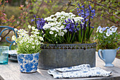 Blau-weiße Frühlingsdekoration mit Hyazinthen, Schleifenblume, Hornveilchen und Moossteinbrech