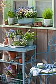 Frühlingsdeko am Fenster: Vergißmeinnicht in drei Farben, Schnittlauch, Petersilie, Hornveilchen 'Sorbet Marina', Gänseblümchen und Rucola