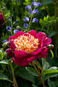 Blüte von Pfingstrose 'Charles Burges'