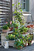 Clematis, Kapuzinerkresse, Bartfaden Pentastic 'Red' und Gemüse - Jungpflanzen an Pflanzentreppe