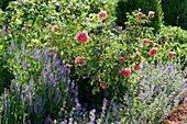 Lachsfarbene Rose 'Schloss Bad Homburg', Steppensalbei 'Blauhügel' und Katzenminze im Beet