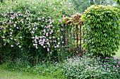 Kletterrose und wilder Wein am Gartenzaun, Storchschnabel im Beet