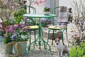 Kleine Sitzgruppe auf Terrasse mit Frühlingsblumen und Hund Zula