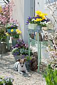 Frühlingsterrasse mit Tulpen, Narzissen und blühenden Stauden, Hund Zula