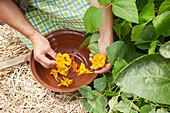 Blüten von der Kapuzinerkresse sammeln