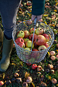 A person carrying a metal basket with freshly harvested apples