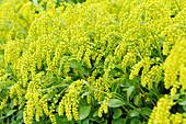 Goldtröpfchen blüht im Sommer