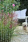 Blühendes Chinaschilf, Rose und Hund im Regen auf Terrasse