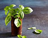 Fresh basil in antique wooden mug