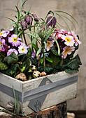 Primeln und Schachbrettblumen in einer grauen Holzkiste