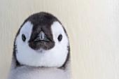 Emperor penguin chick
