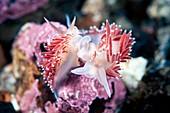 Flabellina nudibranchs