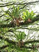 Bird's Nest Fern in Ambon