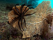 Crinoid and fan coral