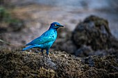 Cape glossy starling in rhino dung