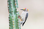 Golden-fronted woodpecker on cactus