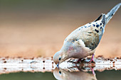 Mourning dove drinking