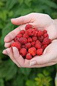 Woman's hands with raspberries