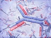 Antibodies,illustration