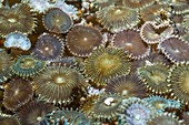 Sea anemones,Indonesia
